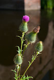 thistle flower