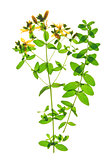 St. John&#39;s wort (Hypericum perforatum)