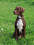 English Pointer on the meadow