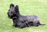 Funny Skye Terrier