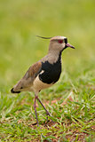 Southern Lapwing 