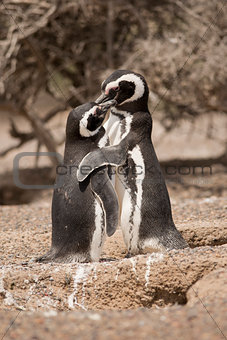 two magellanic penguin standing in front of their nest