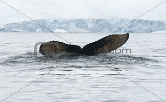 Tail of humpback whale dived-1.