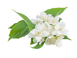 White jasmine flowers