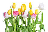 Yellow, white and pink tulips