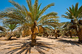 Date Palms