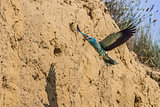 european roller (coracias garrulus)