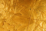 golden maple tree leaves