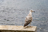large seagull