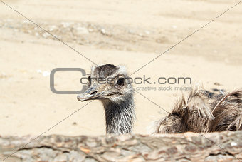 Portrait of an ostrich shot at a farm