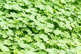 green leaves texture for background use