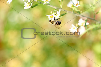 Honey bee on bright white flower