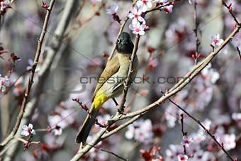 Beautiful bird bulbul