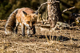 Leery Fox