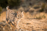 Bobcat Kitten