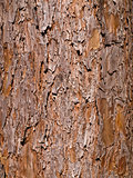 Wooden texture. Close-up view of pine tree.