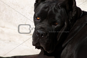 Black dog with expressive look