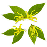 ylang-ylang flowers