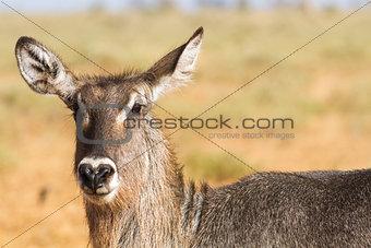 Female Kobus defassa - Tsavo, Kenya