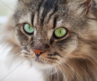 Ordinary cat