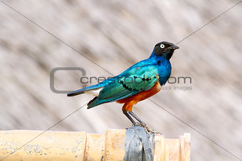 Colorful Superb Starling, Kenya
