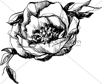 sketch  of bud  of flower of peony