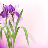 Purple Iris Flowers on bokeh background.