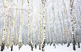 Beautiful Birch Grove with covered snow branches