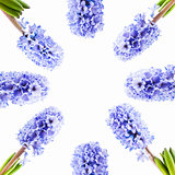 Set blue hyacinth on white background