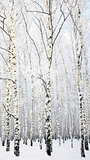 Winter Beautiful Birch Grove on blue sky