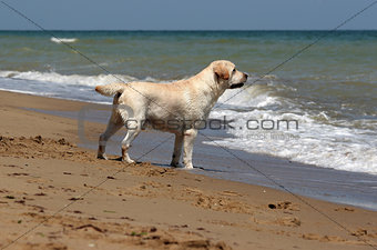 yellow labrador looking at the sea