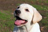 happy yellow labrador puppy