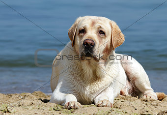 yellow labrador laying at the beach