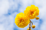 Yellow Silk Cotton or Cochlospermum regium