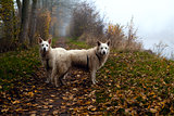 two big white dogs on misty path