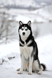 Husky dog