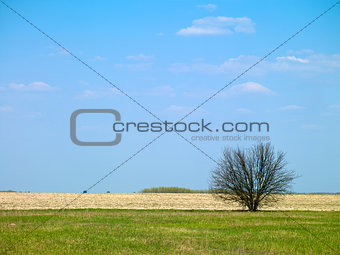 landscape tree in a field