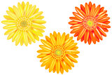 Yellow And Orange Gerbers
