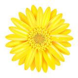 Yellow Gerber
