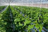 Cucumber plants 