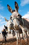 Bedouin donkey.