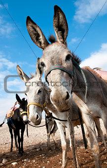 Bedouin donkey.