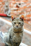 portrait of a striped cat looking at the camera , another cat in the blurry background
