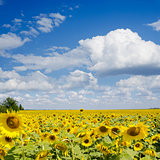 sunflower field under cloudy sky
