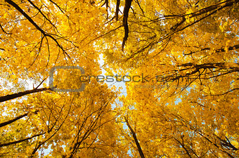 top of yellow trees in autumn