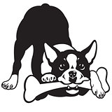 boston terrier black white