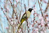 Yellow vented Bulbul