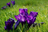 Purple crocuses caught in beautiful spring sunshine