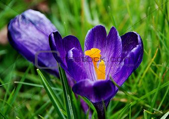 Deep purple crocus bloom in the grass