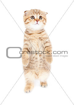 kitten standing isolated